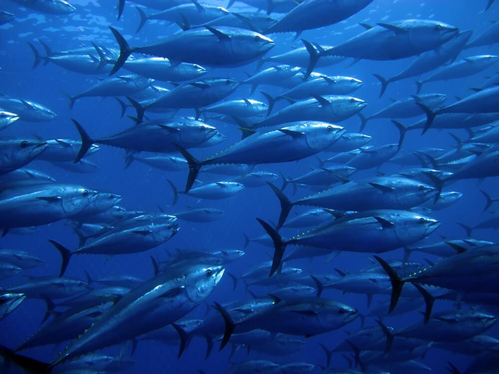 Duurste vis ter wereld